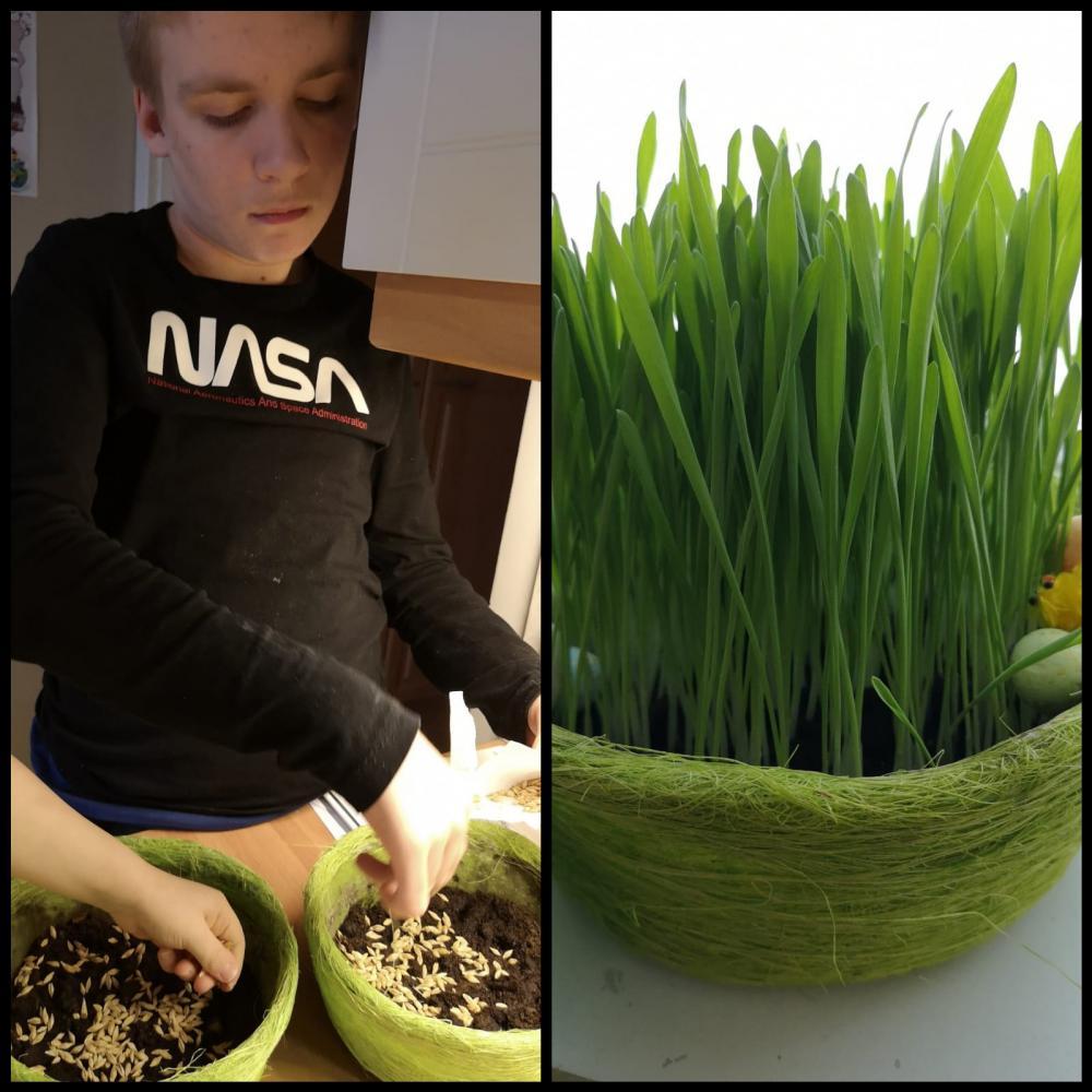Vasemmalla poika kylvää pääsiäisruohoa ja oikealla pitkälle kasvanut ruoho.