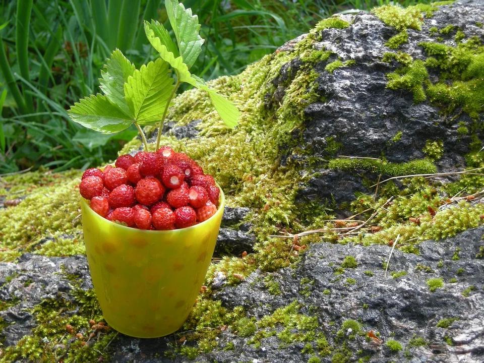 Valokuvassa on metsämansikoita suomalaisessa luonnossa.