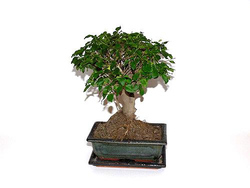 Bonsai-puu