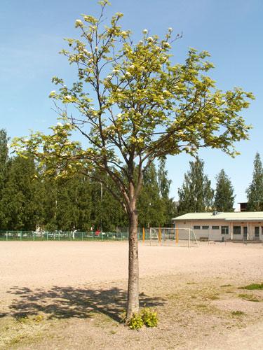 Pihapuu